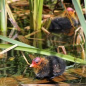 160627 Coot chicks (3)