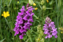 170607 Southern marsh-orchid (1)