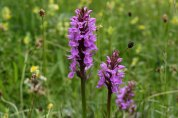 170607 Southern marsh-orchid (4)