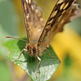 170608 Speckled wood (1)