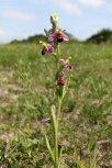 170609 Bee orchid Cosmeston (2)