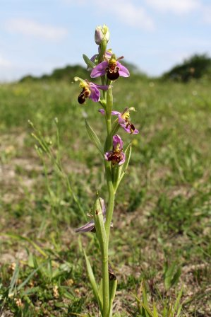 170609 Bee orchid Cosmeston (2)