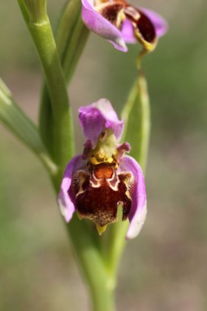 170609 Bee orchid Cosmeston (3)