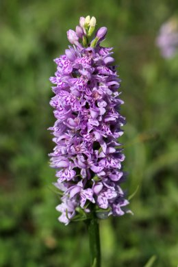 170609 Common spotted-orchid Cosmeston (1)