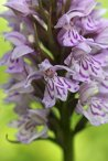 170609 Common spotted-orchid Cosmeston (3)