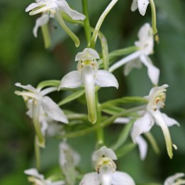 170609 Greater butterfly-orchid Cosmeston (1)