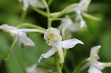 170609 Greater butterfly-orchid Cosmeston (2)
