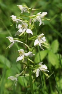 170609 Greater butterfly-orchid Cosmeston (3)