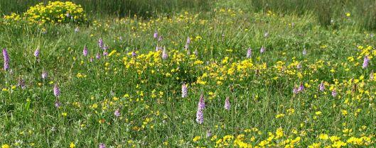 170609 Orchids Cosmeston