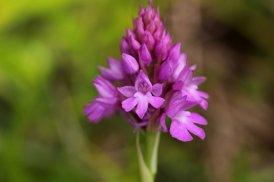 170609 Pyramidal orchids Cosmeston (1)