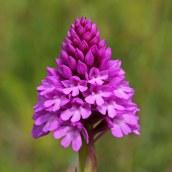 170609 Pyramidal orchids Cosmeston (2)