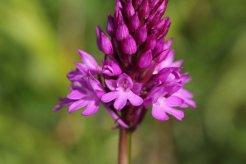 170609 Pyramidal orchids Cosmeston (3)