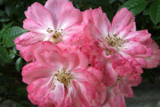 170610 roses