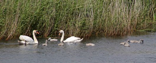 170612 Baby Mute swans