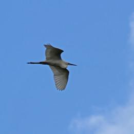 170612 Great white egret