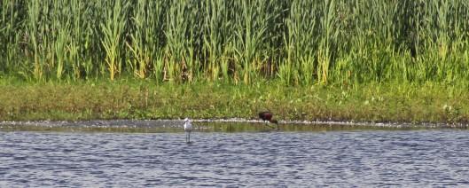 170612 Little egret & Glossy ibis