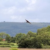 170612 Marsh harrier (1)