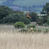 170612 Marsh harrier vs Bittern