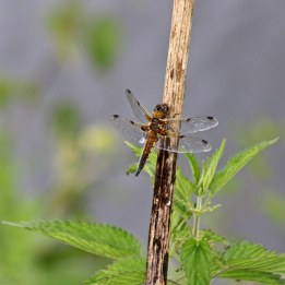 170613 4-spotted chaser