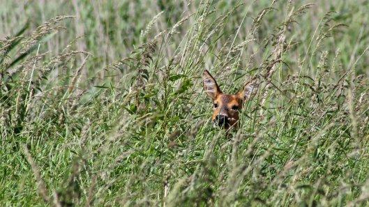 170613 Roe deer