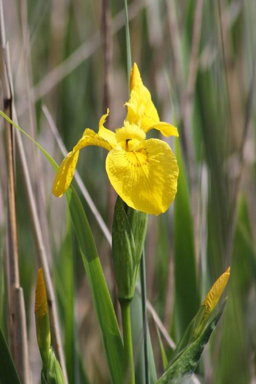 170616 Yellow iris (1)