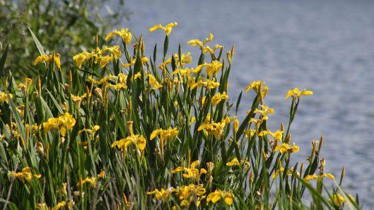 170616 Yellow iris (3)