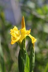 170616 Yellow iris (4)