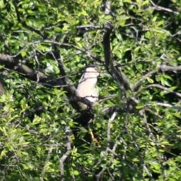 170618 Night heron (1)
