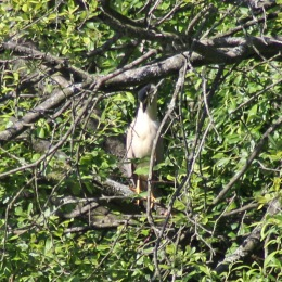 170618 Night heron (3)