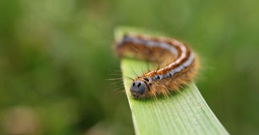 170620 Oak eggar larva (1)