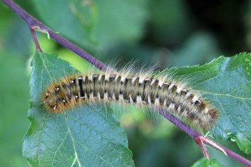 170620 Oak eggar larva (2)
