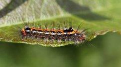 170620 Yellow-tail larva (1)