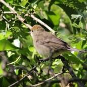 170621 Blackcap fledgling (1)