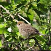 170621 Blackcap fledgling (2)