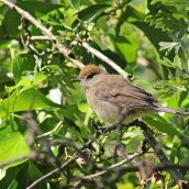 170621 Blackcap fledgling (3)