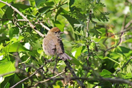170621 Blackcap fledgling (4)
