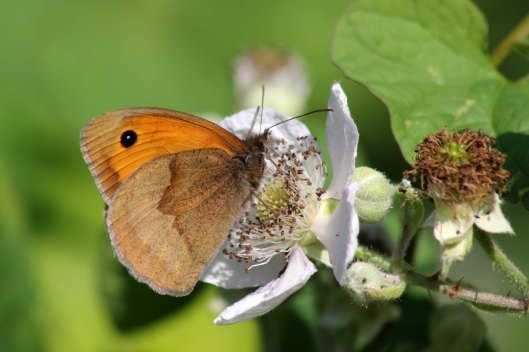 170622 Meadow brown