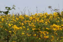 170623 Bird's-foot trefoil (2)