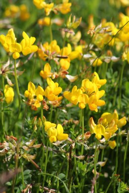 170623 Bird's-foot trefoil