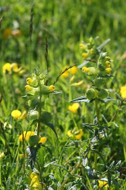 170623 Yellow rattle
