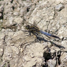 170624 Black-tailed Skimmer (2)