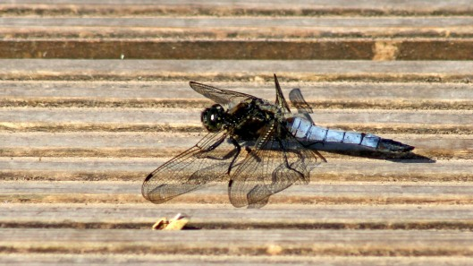 170624 Black-tailed skimmer