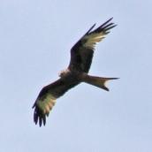 170625 Red kite