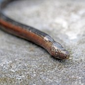170625 Slow-worm