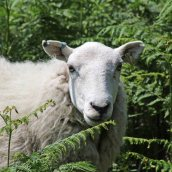 170625 Welsh sheep