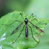 170628 Cranefly Ptychoptera sp