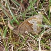 170628 Meadow brown Maniola jurtina
