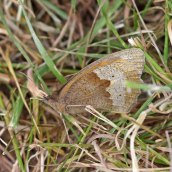 170628 Meadow brown Maniola jurtina
