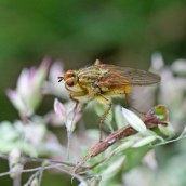 170628 Yellow dung fly Scathophaga stercoraria