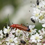 170630 1 Common red soldier beetle